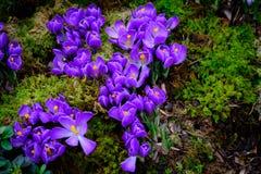 De bloeiende krokus bloeit macro Royalty-vrije Stock Afbeelding