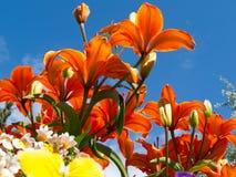 De bloeiende lelies Lilium SP gardenbed laag hoekschot Royalty-vrije Stock Fotografie