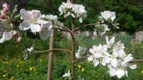 De bloeiende lente van de appelboom stock afbeelding