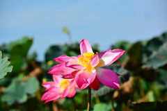 De bloeiende lotusbloem Stock Foto