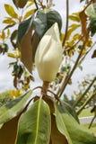 De bloeiende Magnolia van Californië op een Bewolkte Dag Royalty-vrije Stock Afbeelding