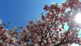 De bloeiende Magnolia van de magnoliaboom stock footage
