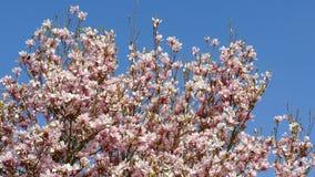 De bloeiende Magnolia van de magnoliaboom stock videobeelden