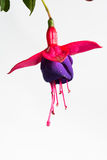 De bloeiende mooie enige bloem van donkere violette en rode fuchsia is geïsoleerd op witte achtergrond, het Nieuwe Millennium ` v Stock Fotografie