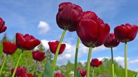 De bloeiende mooie roze bloem van Pioenpaeonia in de tuin stock footage