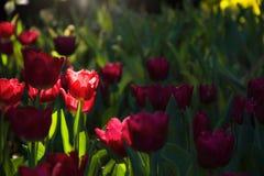 De bloeiende mooie tuin van de tulpenbloem met zonlicht en lensgloed Royalty-vrije Stock Foto's