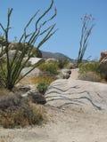 De bloeiende ocotillobomen gieten buigende schaduwen over een rotsgezicht op een toneelwoestijnsleep in de westelijke V.S. stock afbeeldingen