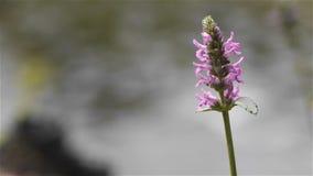 De bloeiende purpere bloem, sluit omhoog stock video