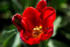 De bloeiende rode tulp in de lente Stock Foto