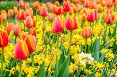 De bloeiende rode tulpen en de gele narcissenbloemen in Keukenhof tuinieren in Nederland, Europa Royalty-vrije Stock Foto's