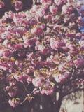 De bloeiende roze sacurabomen in botanisch gaden in de lente royalty-vrije stock afbeelding