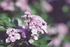 De bloeiende roze struik van de badstofhaagdoorn met wazige achtergrond royalty-vrije stock fotografie