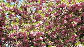 De bloeiende roze tak van de sakuraboom De lentebloemen van kersensakura stock video
