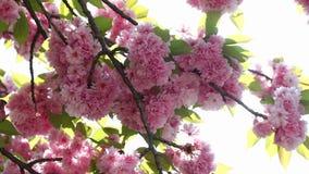 De bloeiende roze tak van de sakuraboom De lentebloemen van kersensakura stock videobeelden