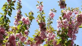 De bloeiende roze tak van de sakuraboom De lentebloemen van kersensakura stock footage