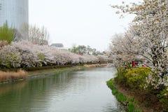De bloeiende steeg van de kersenbloesem in de lente bij Lotte World-toren royalty-vrije stock fotografie