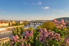 De bloeiende struik van sering tegen Vltava-rivier en Charles-brug, Praag stock foto's