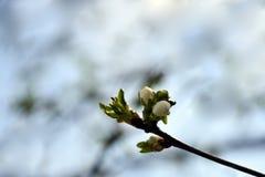 De Bloeiende tak van de abrikoos in de tuin stock afbeeldingen