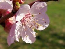 De bloeiende tak van de abrikozenboom tegen de blauwe hemel Stock Fotografie