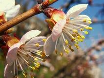 De bloeiende tak van de abrikozenboom tegen de blauwe hemel Royalty-vrije Stock Fotografie
