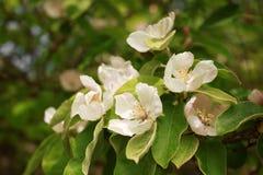 De bloeiende tak van de appelkweepeer dicht omhoog stock afbeelding