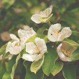 De bloeiende tak van de appelkweepeer dicht omhoog royalty-vrije stock afbeeldingen