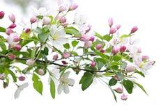 De bloeiende tak van de appelboom royalty-vrije stock foto