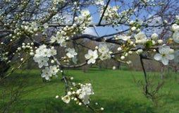 De bloeiende tak van de appelboom Stock Afbeelding