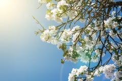 De bloeiende tak van de appelboom in de lente over blauwe hemel Stock Foto