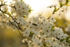 De bloeiende tak van de fruitboom in de lente Stock Afbeeldingen