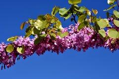 De bloeiende tak van de Judasboom met roze bloemen royalty-vrije stock afbeelding