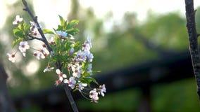 De bloeiende tak van de kersenboom op onduidelijk beeld groene achtergrond stock footage