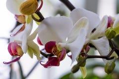 De bloeiende tak van mooie witte orchideebloem met geel centrum isoleerde close-upmacro Stock Afbeelding