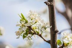 De bloeiende tak van pruimbloemen Stock Fotografie