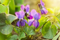 De bloeiende viooltjes van Bush Ondiepe Diepte van Gebied royalty-vrije stock foto's