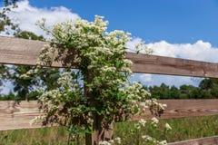 De Bloeiende Wijnstok van Georgia Sweet Autumn Clematis White stock fotografie
