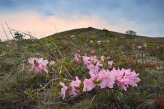 De bloeiende wildernis van rododendronschlippenbach op de kust Royalty-vrije Stock Foto's