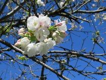 De bloeiende zoete kersenbloesem bloeit op een vroege de lentemiddag, Vancouver, 2018 Royalty-vrije Stock Afbeeldingen