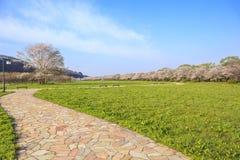 De bloeiweg van kersenbloesems Stock Foto's