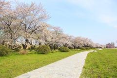 De bloeiweg van kersenbloesems Royalty-vrije Stock Fotografie