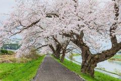 De bloeiweg van kersenbloesems, Japan Stock Fotografie