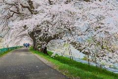 De bloeiweg van kersenbloesems, Sendai, Japan Stock Afbeeldingen