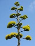 De bloeiwijze van de agave Royalty-vrije Stock Foto's
