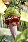 De bloeiwijze van de banaan stock foto