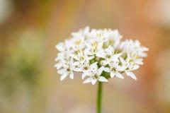 De bloeiwijze van het knoflookbieslook royalty-vrije stock afbeelding