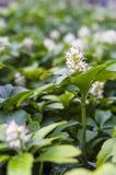 de bloeiwijze van pachysandraterminalis Stock Foto's