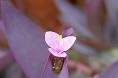 De bloeiwijze van purpere hartinstallaties met water daalt, Tradescantia-nam pallida D toe r jacht stock foto