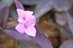 De bloeiwijze van purpere hartinstallaties, Tradescantia-pallida nam D toe r jacht stock afbeelding