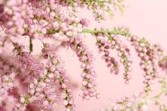 De bloeiwijzen van roze bloemenachtergrond Royalty-vrije Stock Afbeeldingen