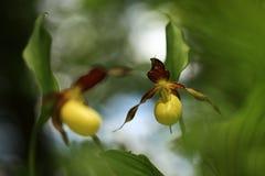 De bloem Deze orchidee wordt gevonden in de Tsjechische Republiek bij ongeveer 100 plaatsen Stock Fotografie